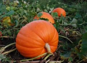 pumpkin-parch